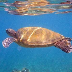 Sea turtle near Maui