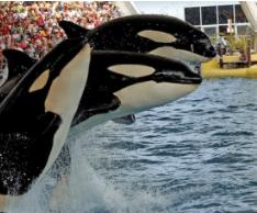 Orca whales at Sea World Orlando