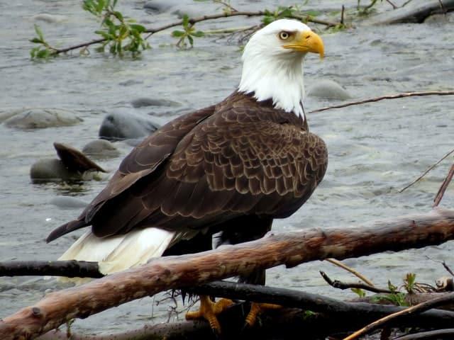 Eagle on Washington Beach image